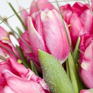 roséfarbene Tulpen